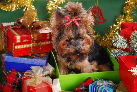 sweet yorkshire terrier dog sitting in one of gift boxes as present for christmas photo