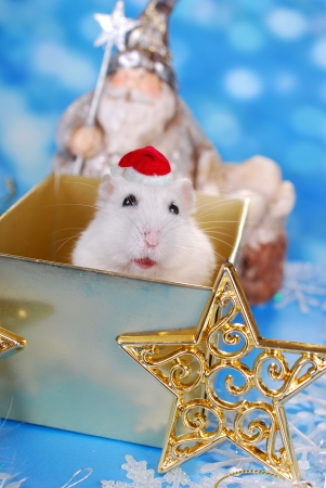 santa hamster: happy white hamster with santa hat sitting in gift box and waiting for christmas day