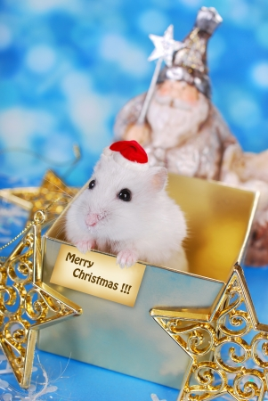 santa hamster: happy white hamster with santa hat and greeting card sitting in gift box waiting for christmas day