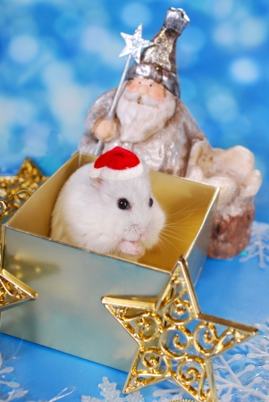 little white hamster with santa hat standing in christmas gift box and praying  Stock Photo
