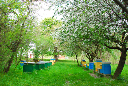 colorful beehives in spring orchard with apple trees photo