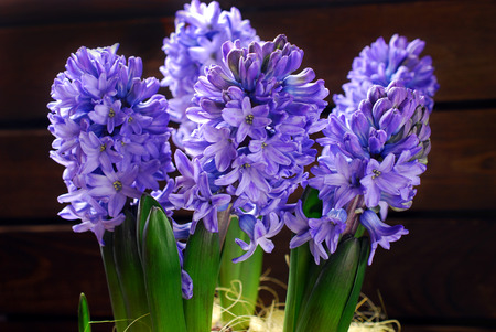 fresh purple color hyacinth flowers on wooden background