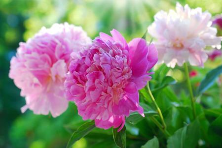 Mooie roze pioen bloeien in de tuin