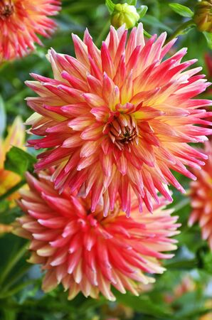 beautiful color dalhia flowers blooming in summer garden
