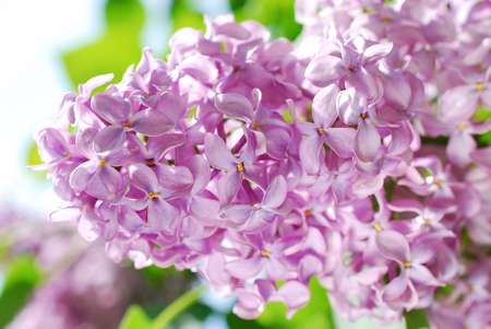 closeup of blooming lilac flowers in the garden Stockfoto - 123715171