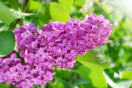 closeup of blooming lilac flowers in the garden Stockfoto - 123714266