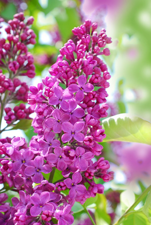 closeup of blooming lilac flowers in the garden