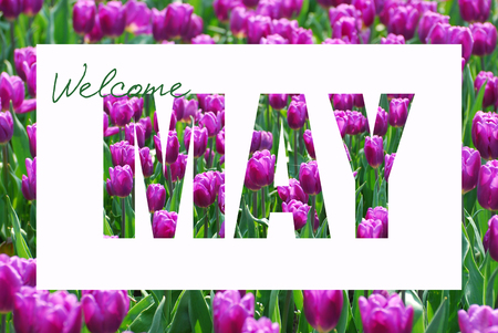 welcome May background with purple tulip  pattern letters isolated on white