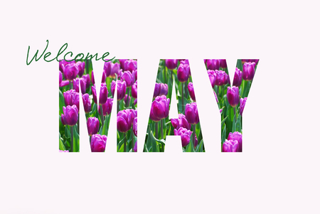 welcome May poster with purple tulip  pattern letters isolated on white