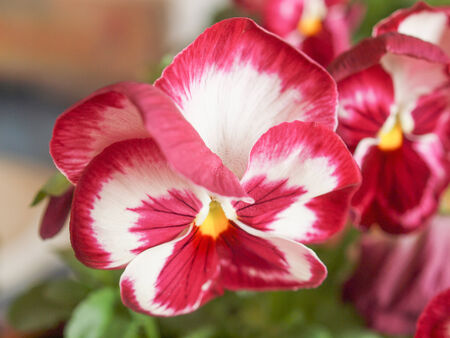 derived: Pansy viola garden flower derived from Viola tricolor hybridized with other viola species