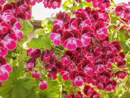 powszechnie: Geranium kwiat roślin powszechnie znane jako cranesbills