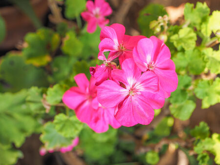 known: Geranium flower of flowering plants commonly known as cranesbills