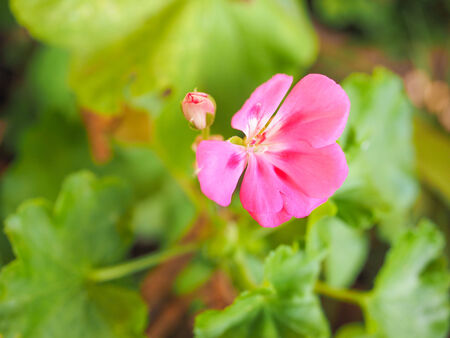 commonly: Geranium flower of flowering plants commonly known as cranesbills