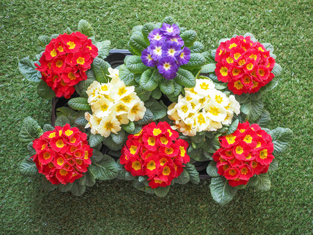 primula: Primrose aka Primula are the first flowers to blossom in early spring Stock Photo