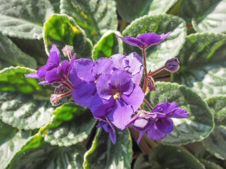 asterids: Flowers of Saintpaulia African Violet house plant