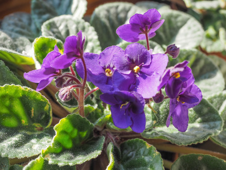 house plant: Flowers of Saintpaulia African Violet house plant