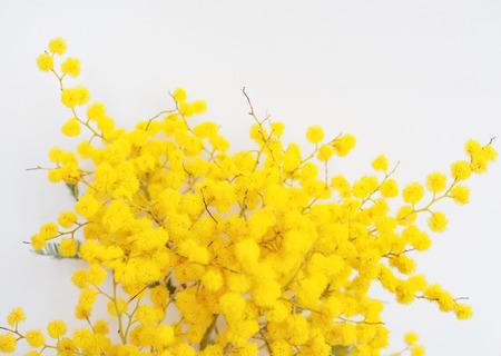 Yellow Mimosa flowers of Acacia dealbata plant aka silver wattle, blue wattle flower plant