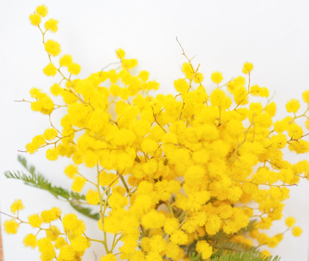 Yellow Mimosa flowers of Acacia dealbata plant aka silver wattle, blue wattle flower plant
