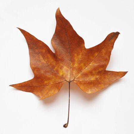 sycamore leaf: Leaves of Plane (Platanus) tree in autumn