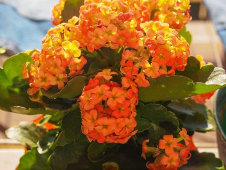 plantae: Orange kalanchoe (Saxifragales Crassulaceae Kalanchoe) flower