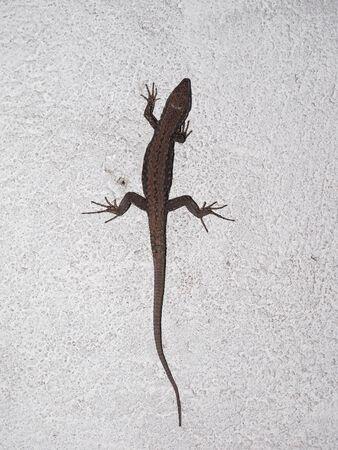 reptile: Lizard (Lacertilia) reptile animal on a wall Stock Photo