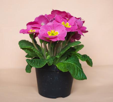 vulgaris: Pink Primrose flower of Primula vulgaris plant