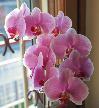 orchidaceae: Pink Orchid (Orchidaceae) flower close up detail