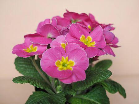 plantae: Pink Primrose flower of Primula vulgaris plant