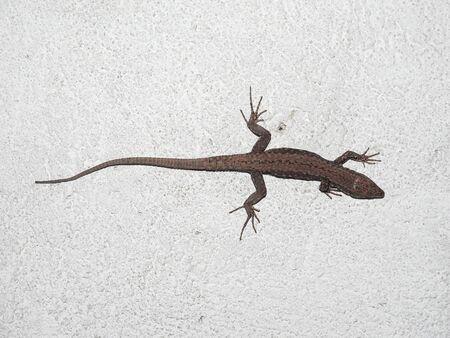 reptilia: Lizard (Lacertilia) reptile animal on a wall Stock Photo