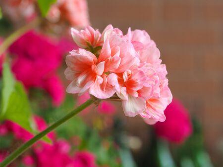 cranesbill: A Pink Geranium (Geraniales) aka cranesbill flower Stock Photo