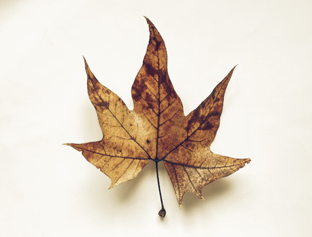 sycamore leaf: Vintage faded Leaves of Plane (Platanus) tree in autumn