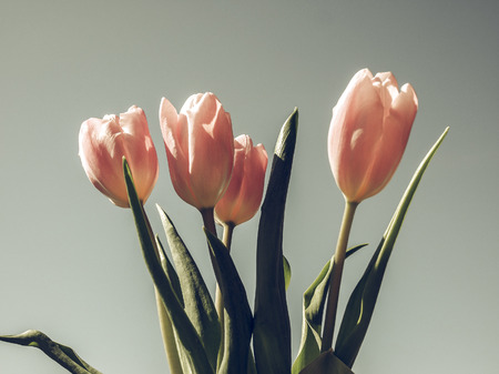 tulipa: Vintage faded Pink tulips (Tulipa gesneriana) flower, perennial bulbous plant - blue sky background