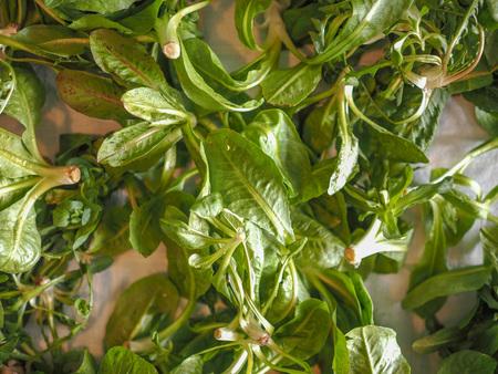 lactuca sativa: Lettuce (Lactuca sativa) leaf vegetables vegetarian food useful as background Stock Photo