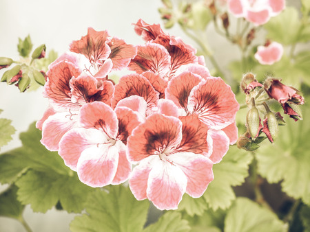 flowering plants: Vintage faded Pink Geranium flower of flowering plants commonly known as cranesbills flower