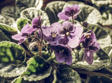 lamiales: Vintage faded Flowers of Saintpaulia African Violet house plant