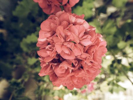 cranesbill: Vintage faded A Pink Geranium (Geraniales) aka cranesbill flower Stock Photo