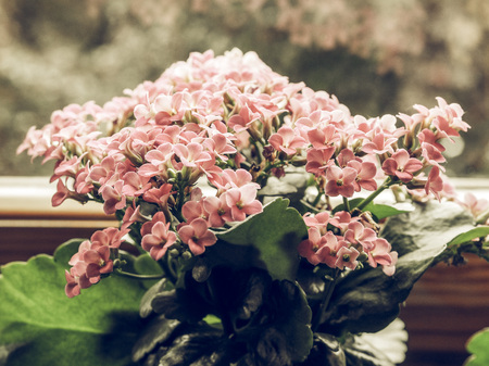 plantae: Vintage faded Pink Kalanchoe (Saxifragales Crassulaceae Kalanchoe) flower - selective focus on flowers