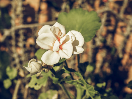 eudicots: Vintage faded Geranium flower of flowering plants commonly known as cranesbills Stock Photo