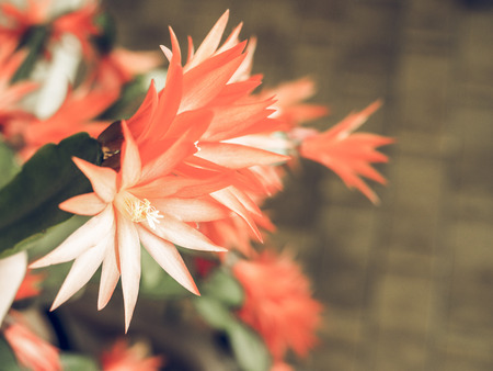 genus: Vintage faded Red Schlumbergera flower aka Christmas Cactus, Thanksgiving Cactus, Crab Cactus and Holiday Cactus is a small genus of cacti from Brazil flower Stock Photo