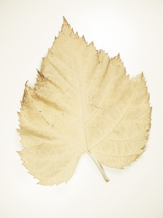 faded: Vintage faded Yellow tree leaves in autumn Stock Photo