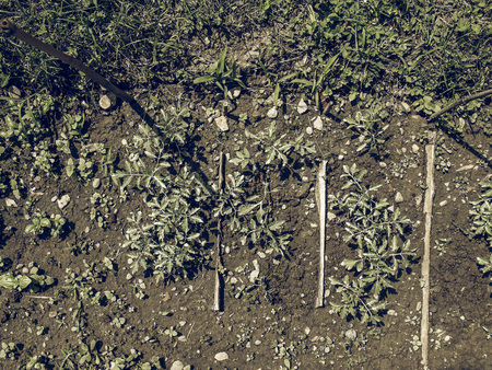 grown: Vintage faded Plug tomatoes plants small seedlings grown in trays Stock Photo