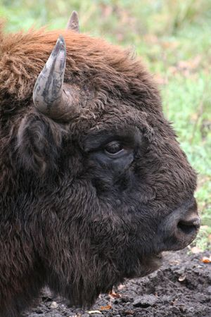 Wild bison in the summer in reserve photo