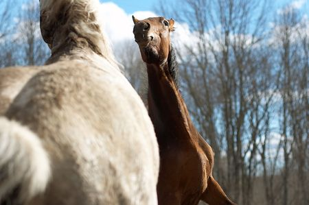 Two wild horses in a spring wood Stock Photo - 819608
