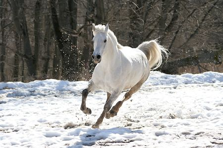 Skipping white horse on a background of a wood Stock Photo - 855813