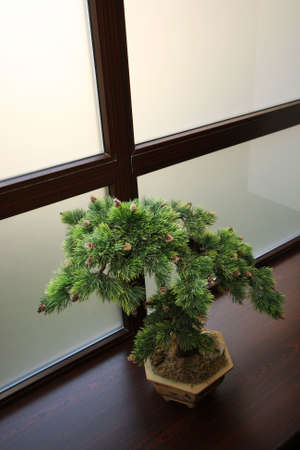 dwarfish: The Japanese dwarfish pine on a background of a window