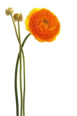 april flowers: Beautiful orange flower on a white background