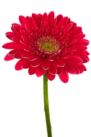 Beautiful brightly red flower on a white background photo