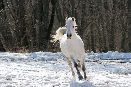 Skipping white horse on a background of a wood Stock Photo