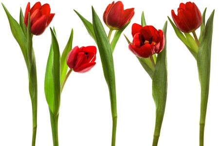 Beautiful and red tulip on a white background photo