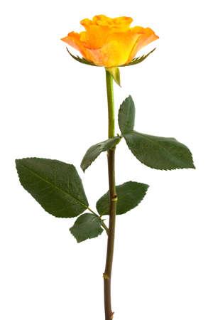 Fresh orange roses on a white background Stock Photo - 4806370